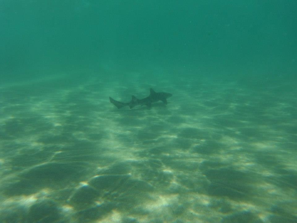 leopard-shark
