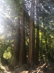 Beautiful redwoods dwarf any palm tree.