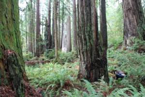 Humboldt Redwood forests galore! Try to find the hobbit in this picture.