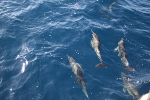 Dolphins swim alongside a boat off of Dana Point, CA.  Photo: C.O.A.S.G.