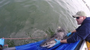 All photos courtesy of California State University-Long Beach's Shark Lab.
