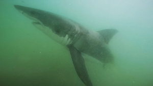 Pictured is a juvenile great white shark off of Manhattan Beach. Photo credit: Cal State Long Beach Shark lab