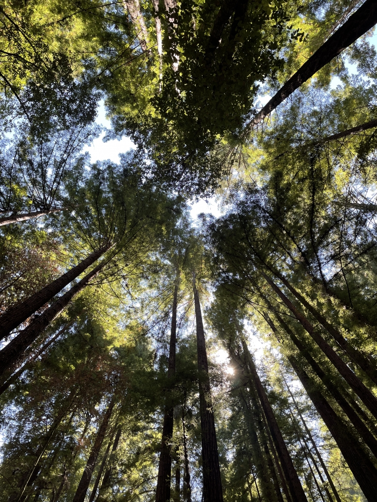 looking up into a tall redwood forest canopy