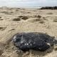 black oil tar sits on the sand in Newport Beach, CA